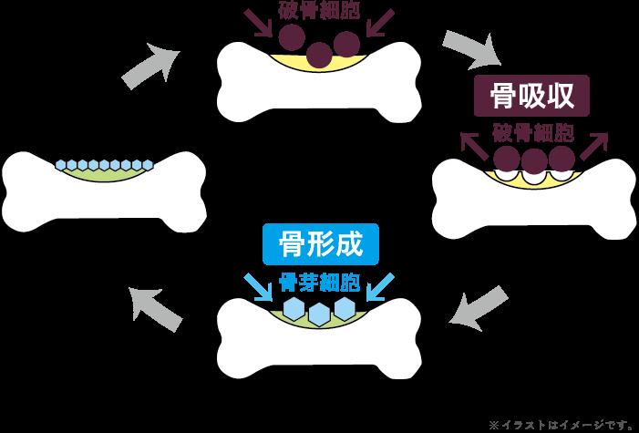 画像:骨代謝のイメージ図