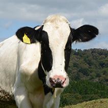 イメージ:健康な乳牛から絞った生乳は「おいしい」。